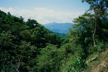 Grove of Coffee Trees and The Mountains of Chiapas Mexico