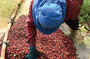 Kingdom Growers Coop Farmer with Coffee Cherries