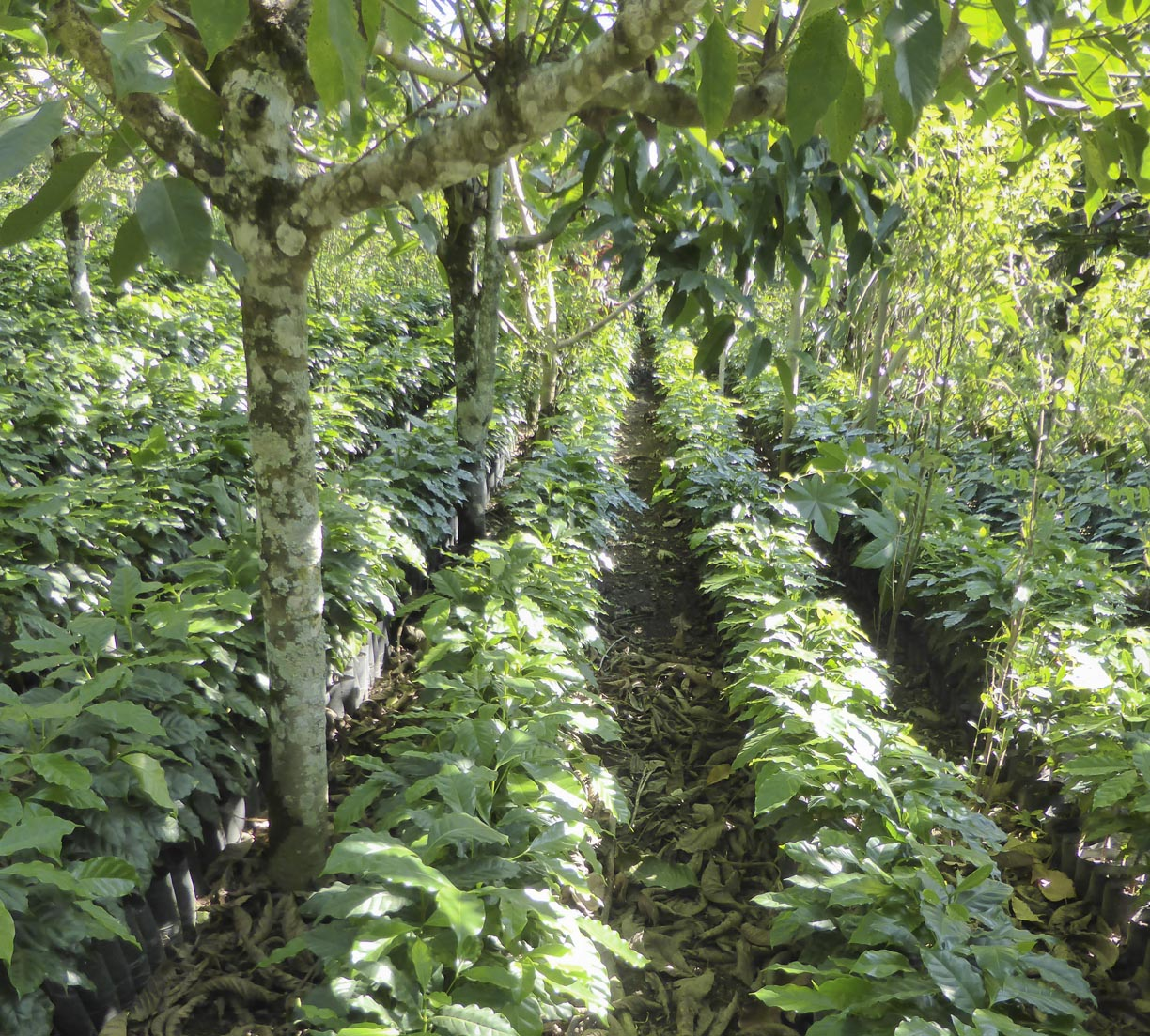 Sun Shining on Rows of Natural Shade Grown Coffee Saplings on Guatemalan Sustainable Coffee Farm