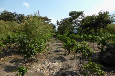 Rows of Young Arabica Coffee Saplings Guatemala Coffee Farm