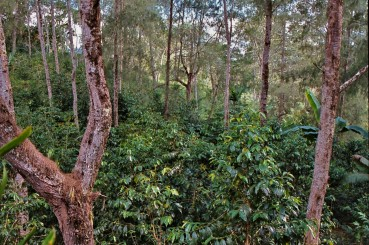Shade Grown Coffee Trees Papua New Guinea