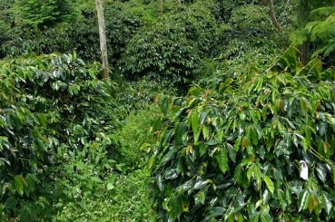 Shade Grown Coffee Trees in Sumatra