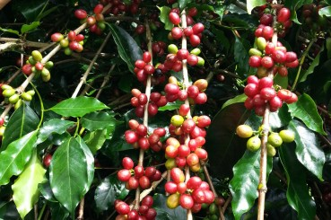 Sumatra Wahana Estate Indonesia Specialty Coffee Cherries