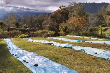 Tarps for Sun Dried Coffee in Papua New Guinea