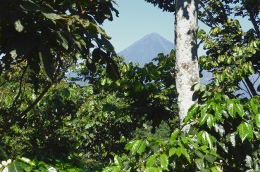 View of Guatemalan Volcano Peak and Coffee Trees