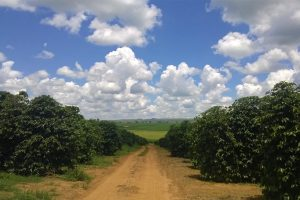 Brazilian Coffee Trees and Coffee Farm Dirt Access Road