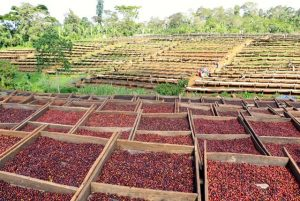 Red coffee cherries drying in the sun, Mekonissa wash station, Bule Hora District, Guji Ethiopia