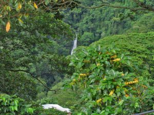 Organic yellow coffee cherries, coffee trees and waterfall from Sierra Nevada, Colombia