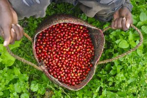 Basket of Handpicked Red Ethiopian Coffee Cherries