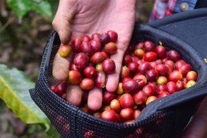 Coffee farmer holding red coffee cherries