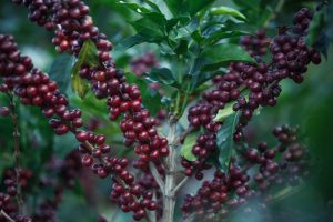 Red Coffee Cherries and Coffee Trees In Tanzania
