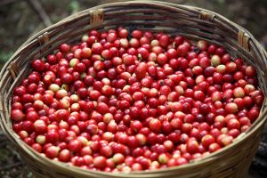 Basket of Red Coffee Cherries