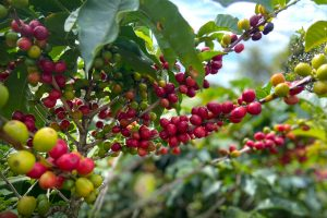 Costa Rica Tarrazu Coffee Cherries