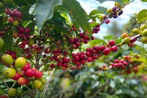 Costa Rica Tarrazu Coffee Cherries