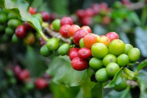 Colombia Excelso Bucaramanga Coffee Cherries