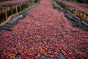 Ethiopia Harrar Coffee Cherries on Raised Drying Beds
