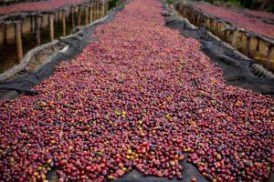 Ethiopia Harrar Coffee Cherries on Raised Drying Beds