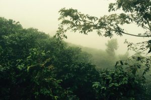 Honduras El Socorro Microlot Coffee Trees