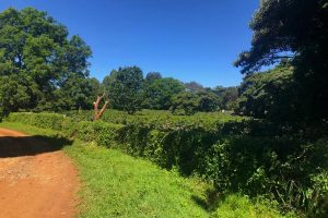 Kenya Kahura Coffee Tree Farm
