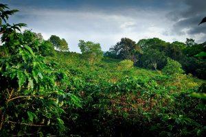 Hacienda Sonora Black Honey Microlot